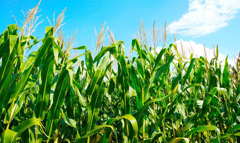 トウモロコシ畑のイメージ写真